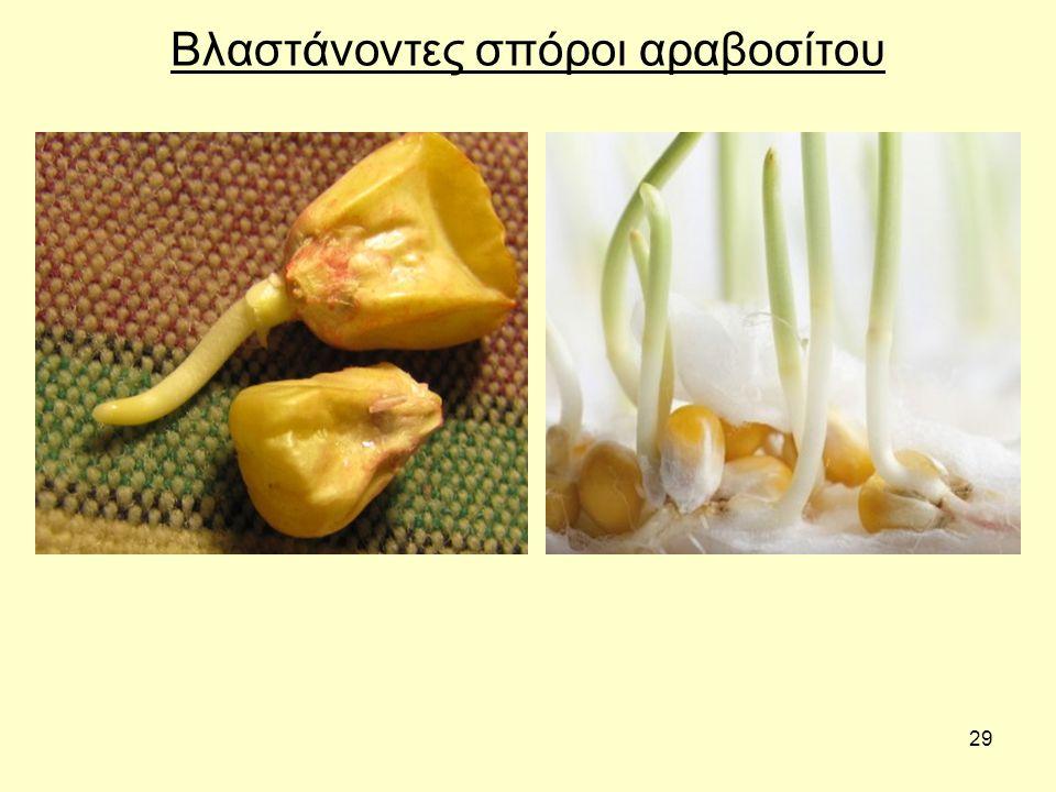 29 Βλαστάνοντες σπόροι αραβοσίτου