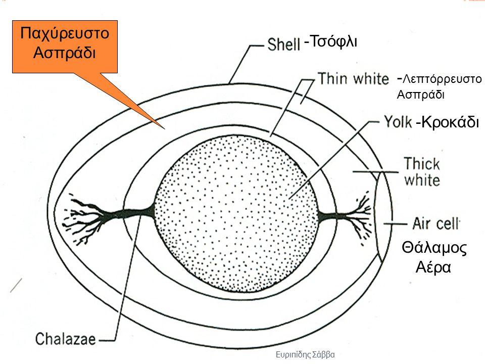 -Τσόφλι - Λεπτόρρευστο Ασπράδι -Κροκάδι Παχύρευστο Ασπράδι Θάλαμος Αέρα Ευριπίδης Σάββα