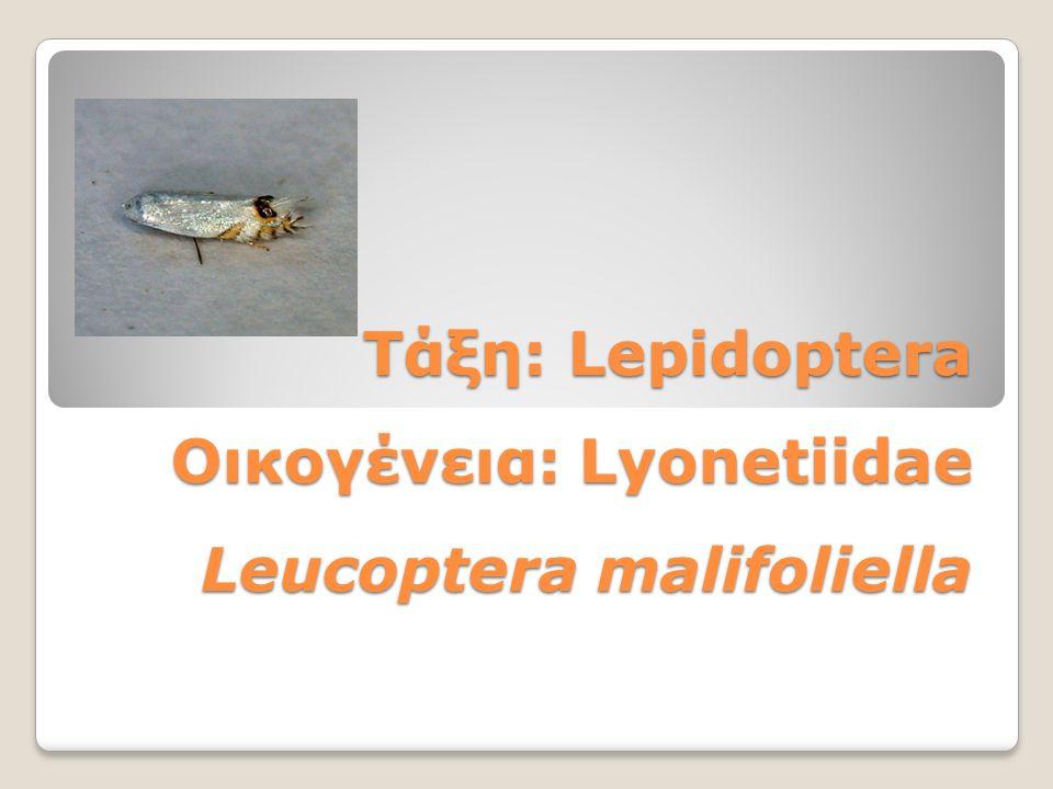 Τάξη: Lepidoptera Οικογένεια: Lyonetiidae Leucoptera malifoliella
