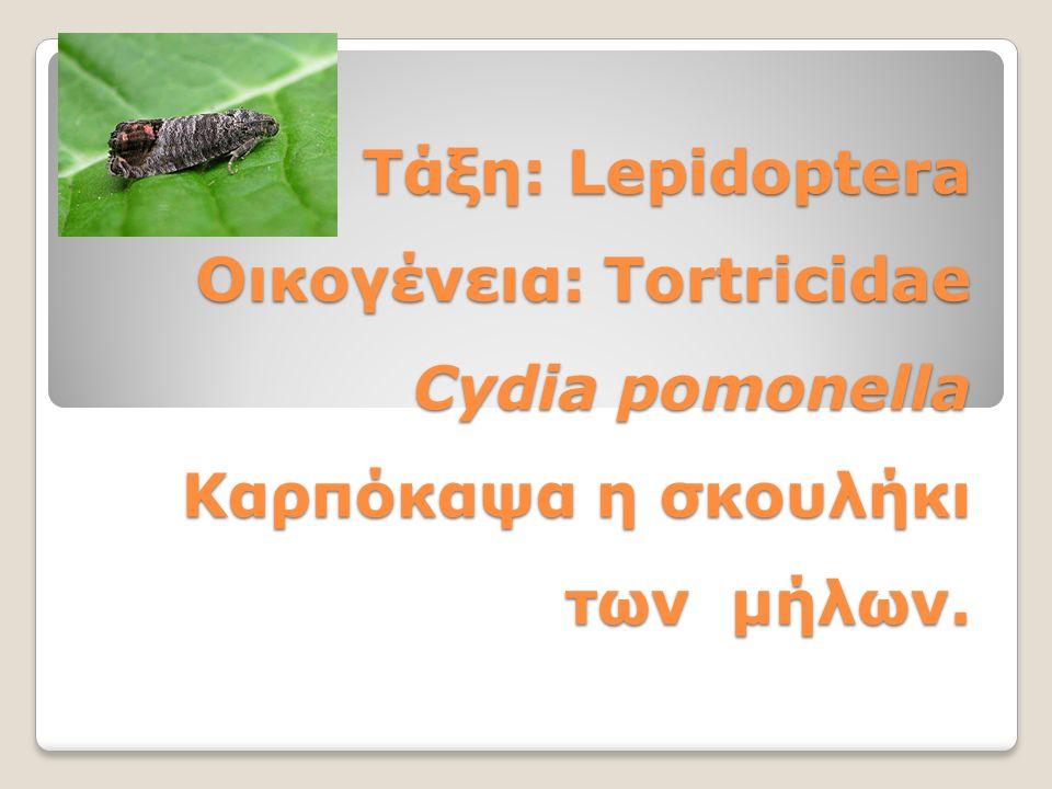 Τάξη: Lepidoptera Οικογένεια: Tortricidae Cydia pomonella Καρπόκαψα η σκουλήκι των μήλων.