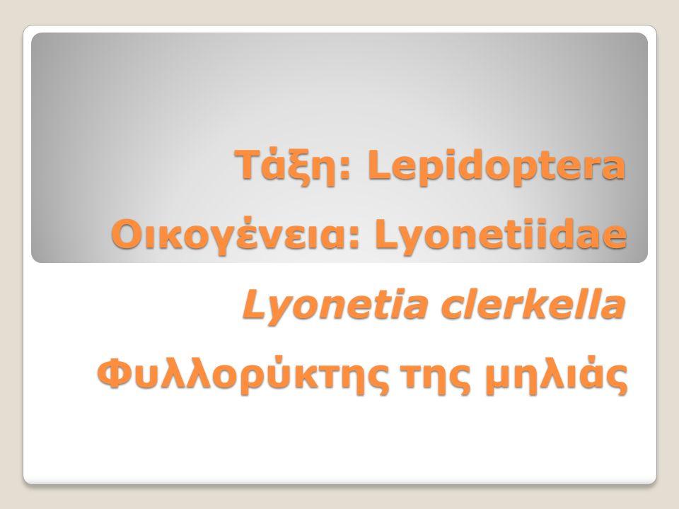 Τάξη: Lepidoptera Οικογένεια: Lyonetiidae Lyonetia clerkella Φυλλορύκτης της μηλιάς