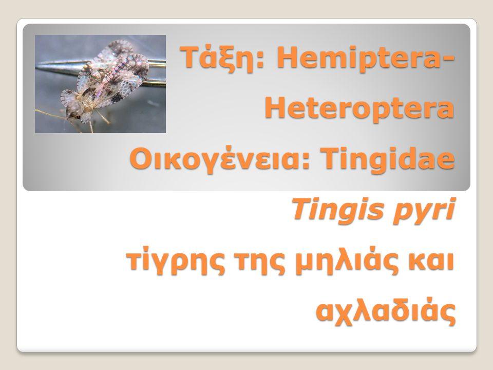 Τάξη: Hemiptera- Heteroptera Οικογένεια: Tingidae Tingis pyri τίγρης της μηλιάς και αχλαδιάς