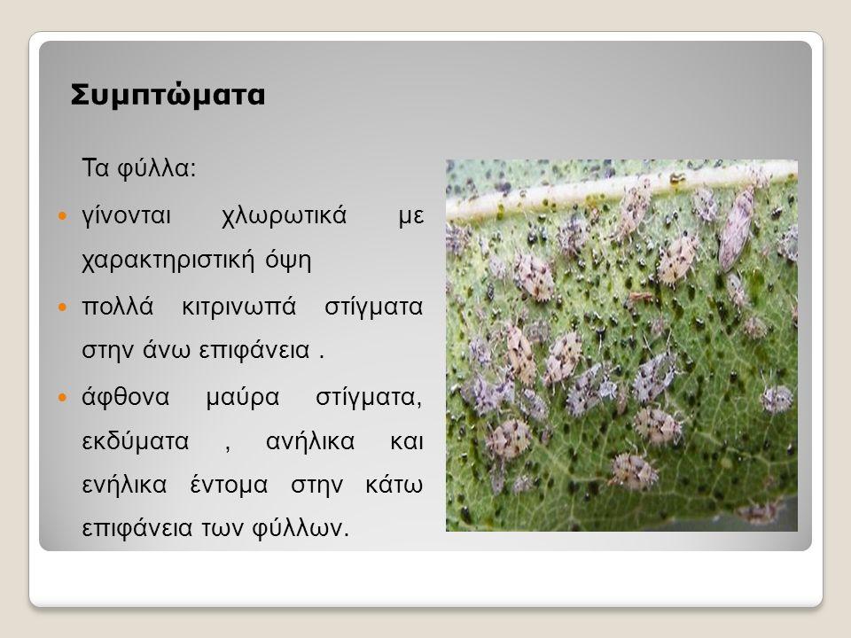 Συμπτώματα Τα φύλλα: γίνονται χλωρωτικά με χαρακτηριστική όψη πολλά κιτρινωπά στίγματα στην άνω επιφάνεια.