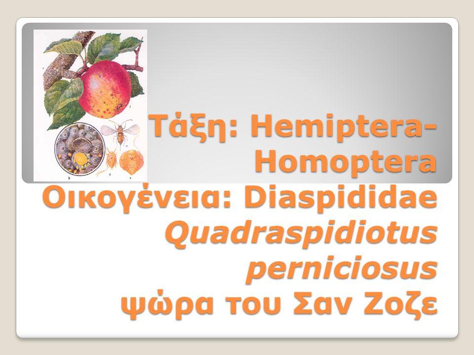 Τάξη: Hemiptera- Homoptera Οικογένεια: Diaspididae Quadraspidiotus perniciosus ψώρα του Σαν Ζοζε