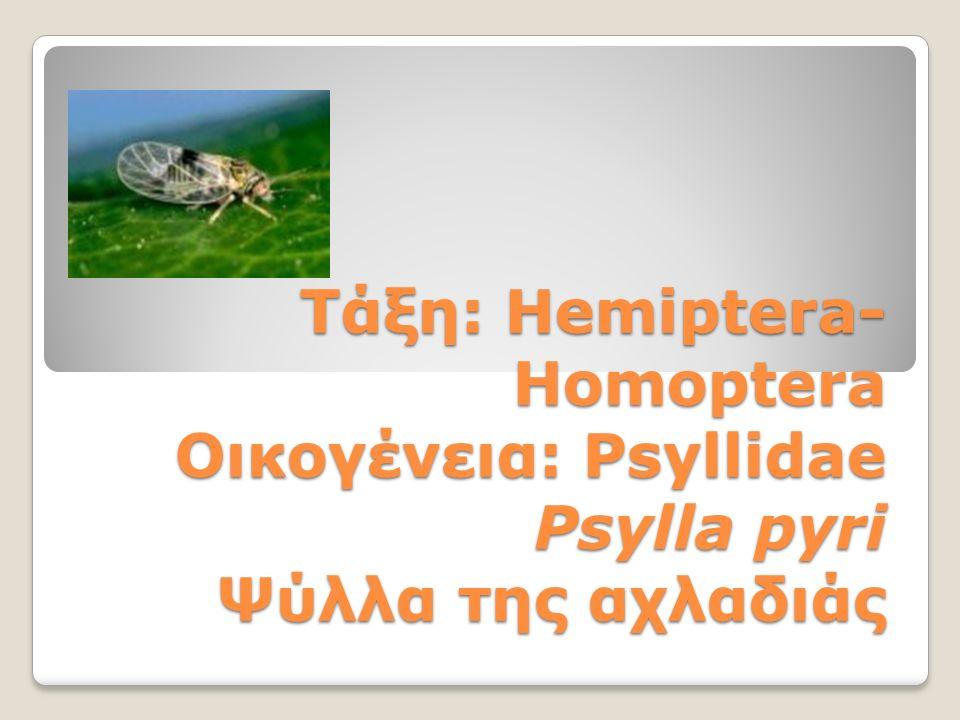 Τάξη: Hemiptera- Homoptera Οικογένεια: Psyllidae Psylla pyri Ψύλλα της αχλαδιάς