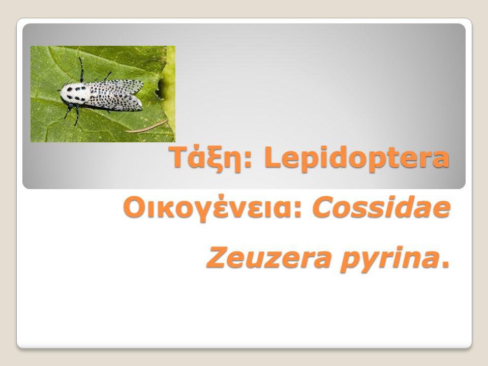 Τάξη: Lepidoptera Οικογένεια: Cossidae Zeuzera pyrina.