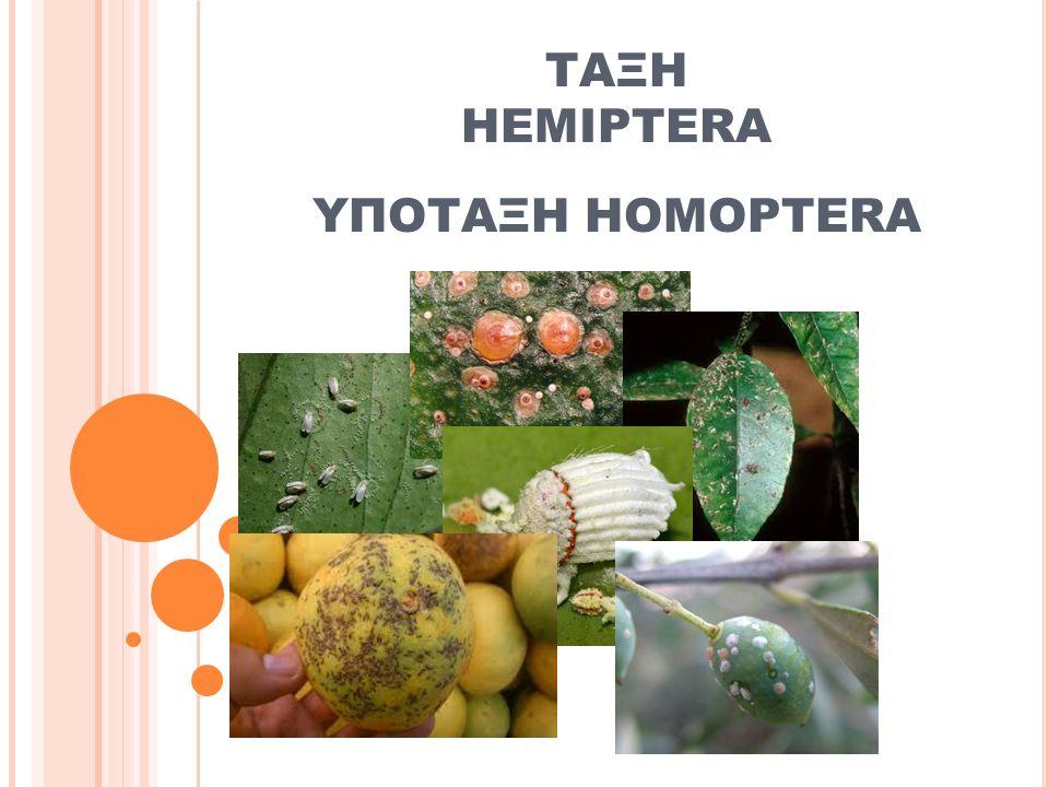 ΤΑΞΗ HEMIPTERA ΥΠΟΤΑΞΗ HOMOPTERA
