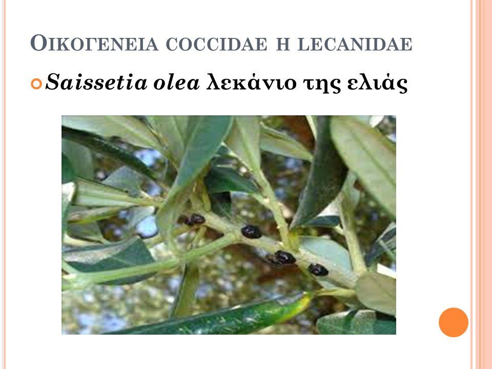 Ο ΙΚΟΓΕΝΕΙΑ COCCIDAE H LECANIDAE Saissetia olea λεκάνιο της ελιάς