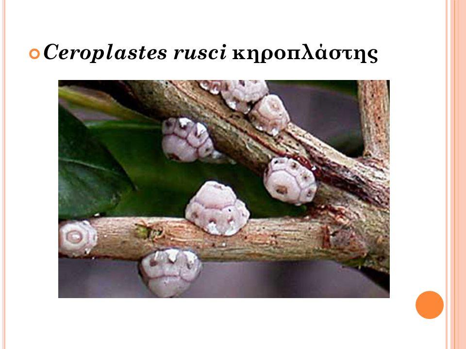 Ceroplastes rusci κηροπλάστης