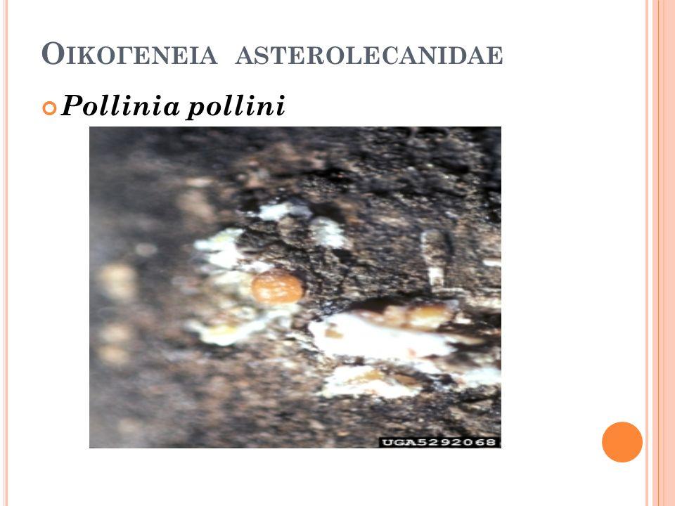 Ο ΙΚΟΓΕΝΕΙΑ ASTEROLECANIDAE Pollinia pollini