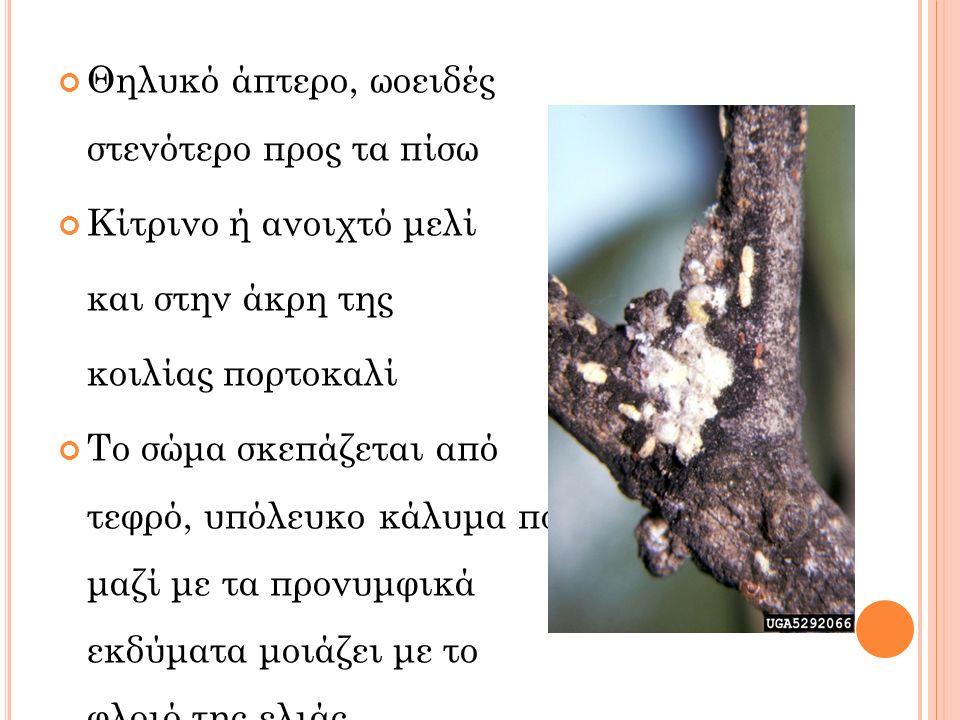 Θηλυκό άπτερο, ωοειδές στενότερο προς τα πίσω Κίτρινο ή ανοιχτό μελί και στην άκρη της κοιλίας πορτοκαλί Το σώμα σκεπάζεται από τεφρό, υπόλευκο κάλυμα που μαζί με τα προνυμφικά εκδύματα μοιάζει με το φλοιό της ελιάς