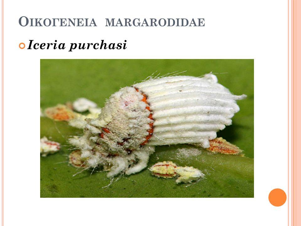 Ο ΙΚΟΓΕΝΕΙΑ MARGARODIDAE Iceria purchasi
