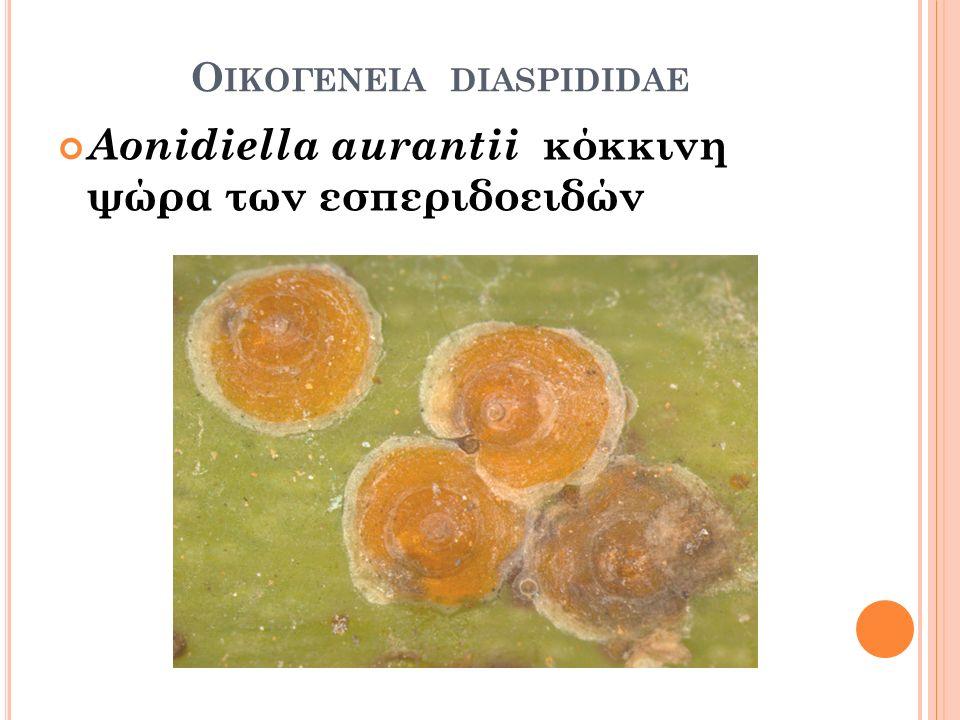 Ο ΙΚΟΓΕΝΕΙΑ DIASPIDIDAE Aonidiella aurantii κόκκινη ψώρα των εσπεριδοειδών