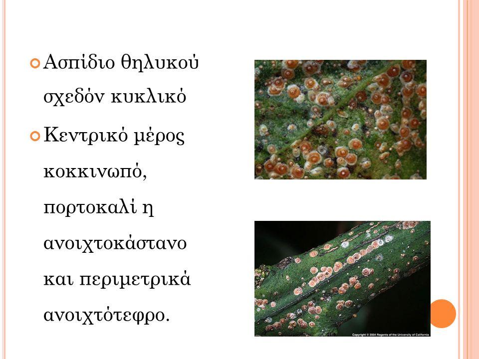 Ασπίδιο θηλυκού σχεδόν κυκλικό Κεντρικό μέρος κοκκινωπό, πορτοκαλί η ανοιχτοκάστανο και περιμετρικά ανοιχτότεφρο.