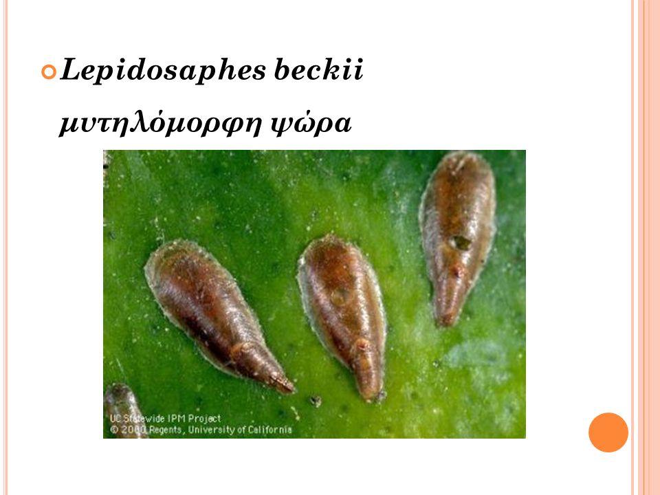Lepidosaphes beckii μυτηλόμορφη ψώρα