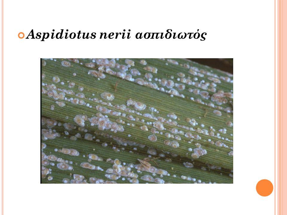 Aspidiotus nerii ασπιδιωτός