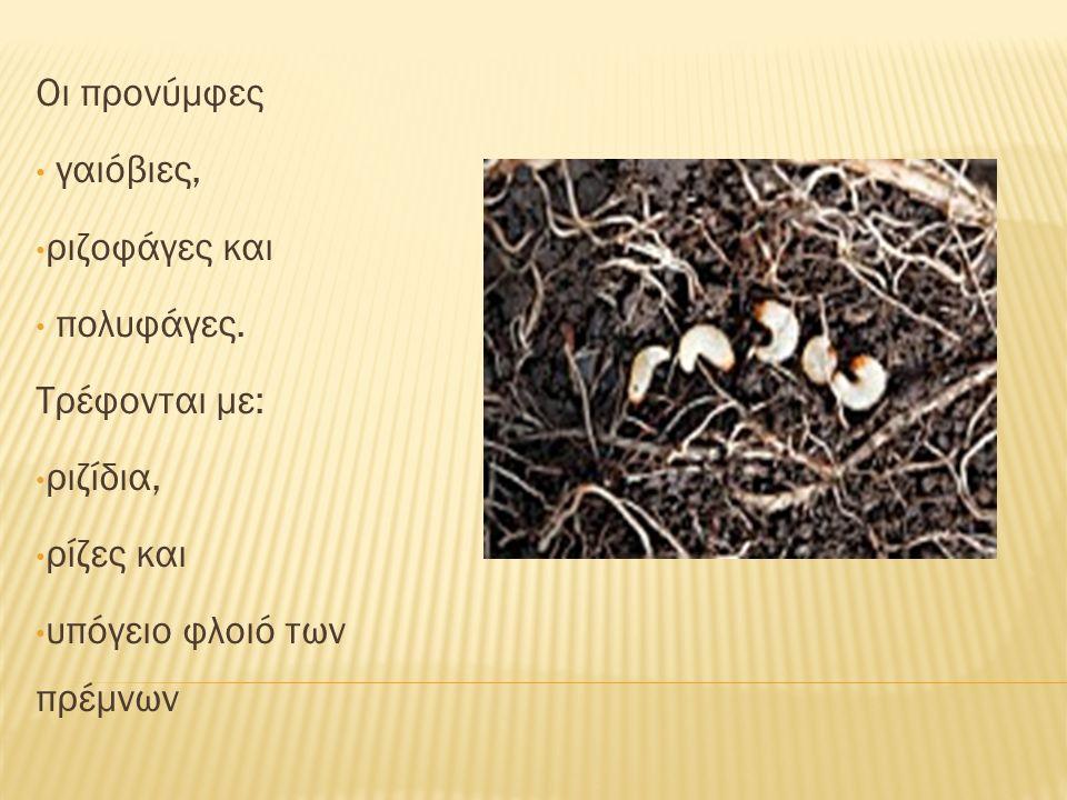 Οι προνύμφες γαιόβιες, ριζοφάγες και πολυφάγες. Τρέφονται με: ριζίδια, ρίζες και υπόγειο φλοιό των πρέμνων