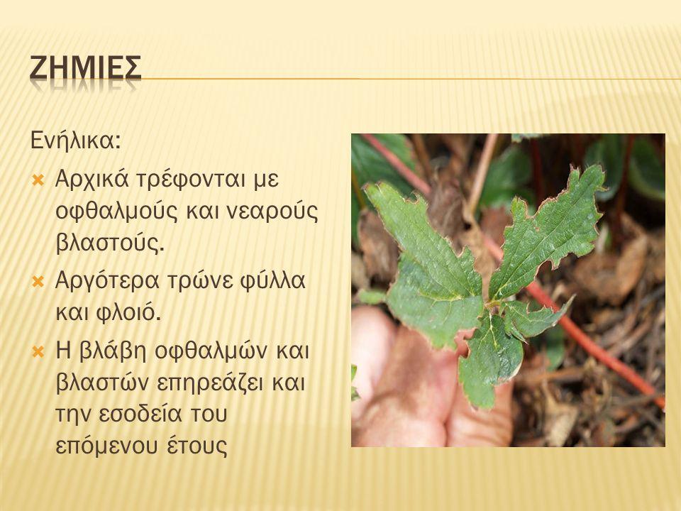 Ενήλικα:  Αρχικά τρέφονται με οφθαλμούς και νεαρούς βλαστούς.  Αργότερα τρώνε φύλλα και φλοιό.  Η βλάβη οφθαλμών και βλαστών επηρεάζει και την εσοδ