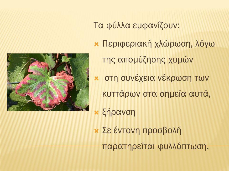 Τα φύλλα εμφανίζουν:  Περιφεριακή χλώρωση, λόγω της απομύζησης χυμών  στη συνέχεια νέκρωση των κυττάρων στα σημεία αυτά,  ξήρανση  Σε έντονη προσβολή παρατηρείται φυλλόπτωση.