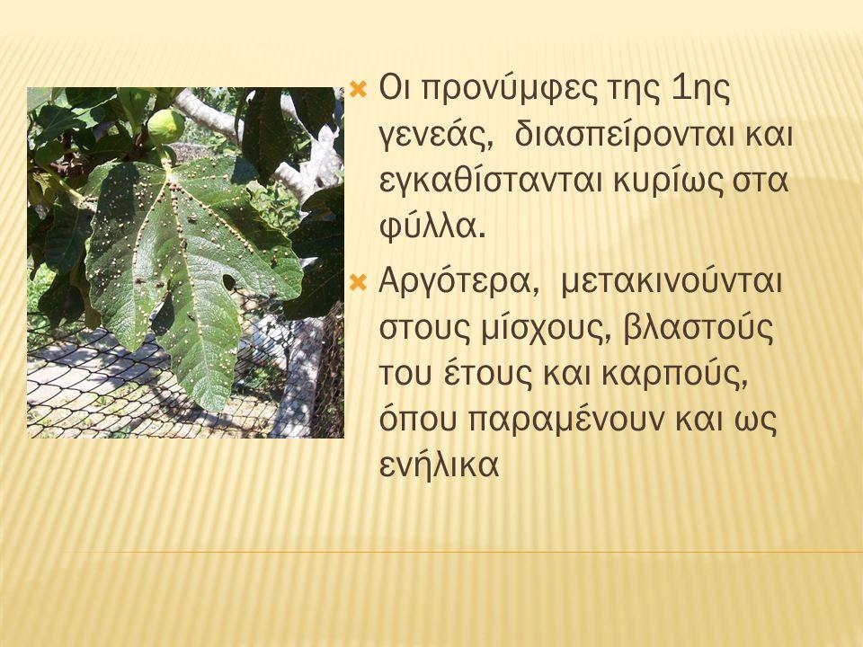  Οι προνύμφες της 1ης γενεάς, διασπείρονται και εγκαθίστανται κυρίως στα φύλλα.  Αργότερα, μετακινούνται στους μίσχους, βλαστούς του έτους και καρπο