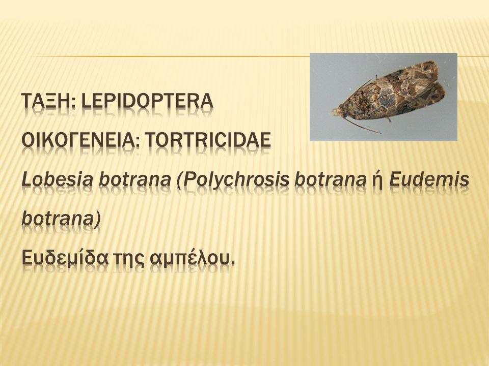 Πολυφάγο έντομο.Αμπέλι, ελιά, δαμασκηνιά και ακτινιδιά.