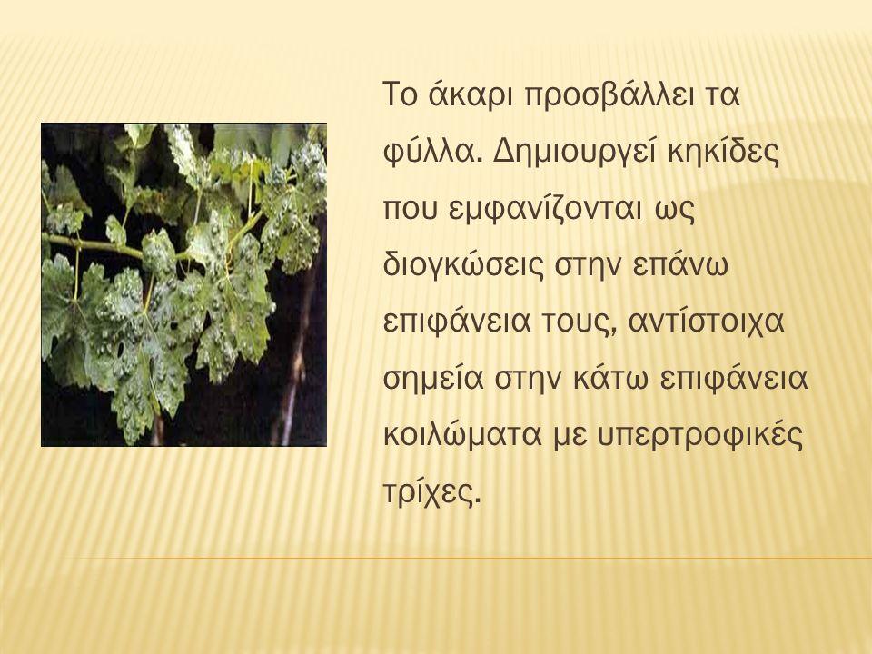 Το άκαρι προσβάλλει τα φύλλα. Δημιουργεί κηκίδες που εμφανίζονται ως διογκώσεις στην επάνω επιφάνεια τους, αντίστοιχα σημεία στην κάτω επιφάνεια κοιλώ