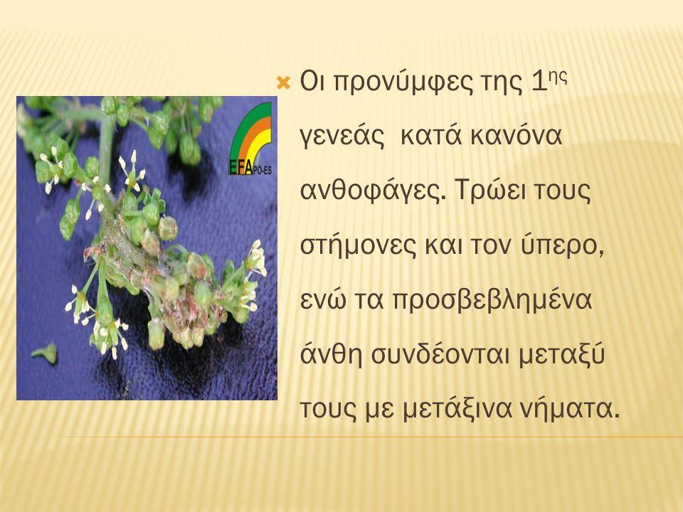  Οι προνύμφες της 1 ης γενεάς κατά κανόνα ανθοφάγες. Τρώει τους στήμονες και τον ύπερο, ενώ τα προσβεβλημένα άνθη συνδέονται μεταξύ τους με μετάξινα