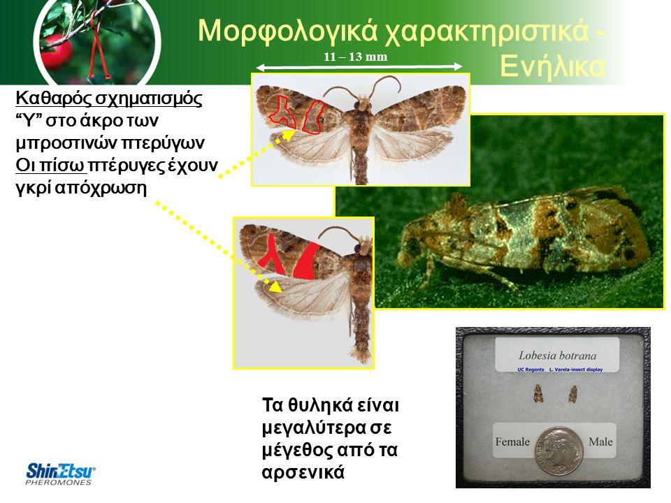Καθαρός σχηματισμός Y στο άκρο των μπροστινών πτερύγων Οι πίσω πτέρυγες έχουν γκρί απόχρωση Τα θυληκά είναι μεγαλύτερα σε μέγεθος από τα αρσενικά 11 – 13 mm Μορφολογικά χαρακτηριστικά - Ενήλικα