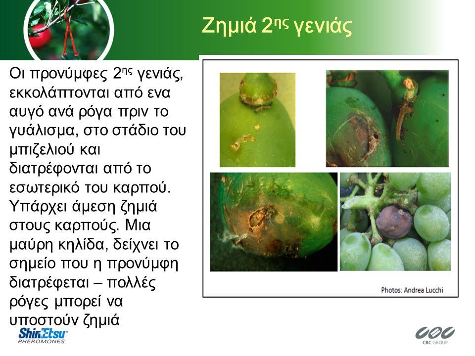 Ζημιά 2 ης γενιάς Οι προνύμφες 2 ης γενιάς, εκκολάπτονται από ενα αυγό ανά ρόγα πριν το γυάλισμα, στο στάδιο του μπιζελιού και διατρέφονται από το εσωτερικό του καρπού.