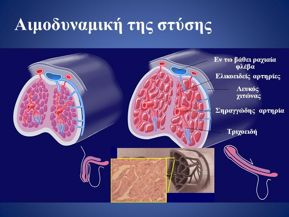 Αιμοδυναμική της στύσης Εν τω βάθει ραχιαία φλέβα Ελικοειδείς αρτηρίες Λευκός χιτώνας Σηραγγώδης αρτηρία Τριχοειδή