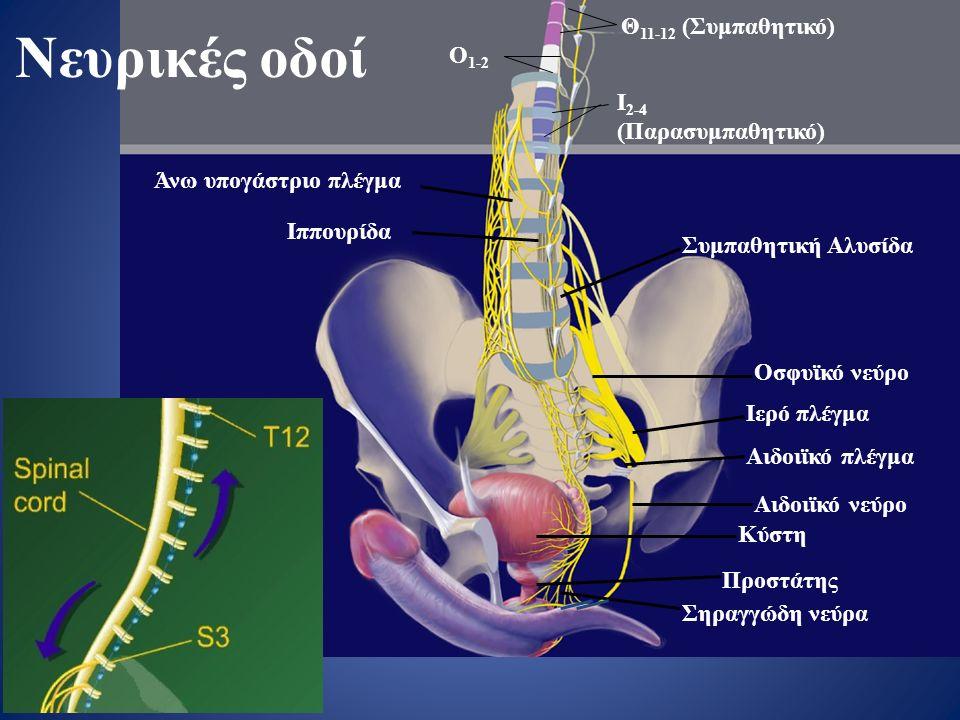 Άνω υπογάστριο πλέγμα Ιππουρίδα Συμπαθητική Αλυσίδα Οσφυϊκό νεύρο Ιερό πλέγμα Αιδοιϊκό πλέγμα Αιδοιϊκό νεύρο Κύστη Προστάτης Σηραγγώδη νεύρα Θ 11-12 (Συμπαθητικό) Ι 2-4 (Παρασυμπαθητικό) Ο 1-2 Νευρικές οδοί