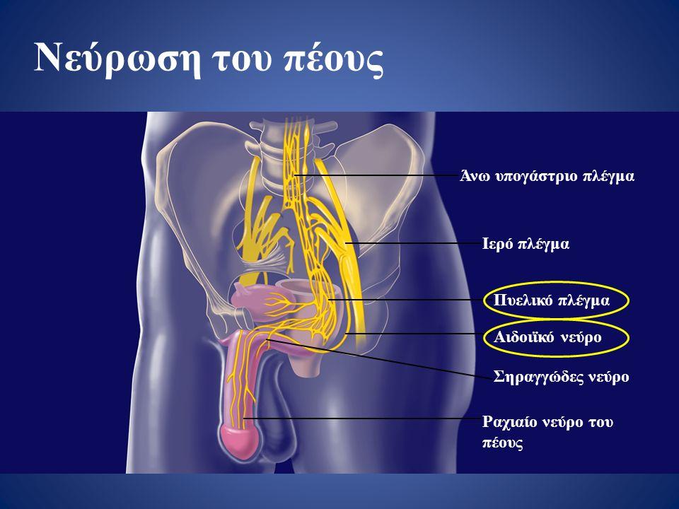 Νεύρωση του πέους Άνω υπογάστριο πλέγμα Ιερό πλέγμα Πυελικό πλέγμα Αιδοιϊκό νεύρο Σηραγγώδες νεύρο Ραχιαίο νεύρο του πέους