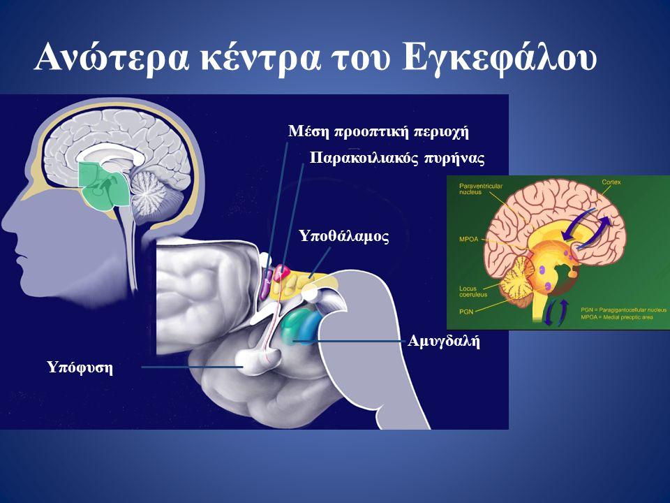 Ανώτερα κέντρα του Εγκεφάλου Μέση προοπτική περιοχή Παρακοιλιακός πυρήνας Υποθάλαμος Αμυγδαλή Υπόφυση