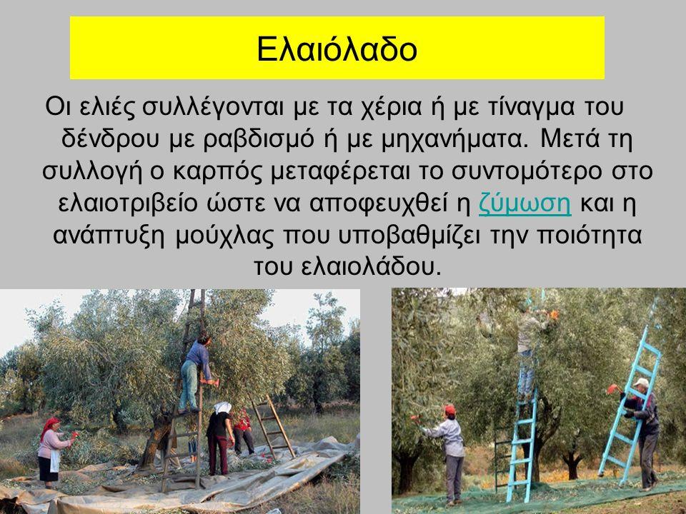 Ελαιόλαδο Οι ελιές συλλέγονται με τα χέρια ή με τίναγμα του δένδρου με ραβδισμό ή με μηχανήματα. Μετά τη συλλογή ο καρπός μεταφέρεται το συντομότερο σ