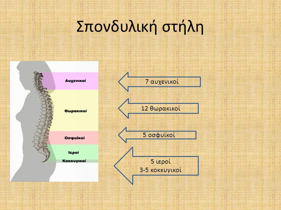 Σπονδυλική στήλη 7 αυχενικοί 12 θωρακικοί 5 οσφυϊκοί 5 ιεροί 3-5 κοκκυγικοί