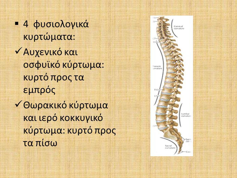  4 φυσιολογικά κυρτώματα: Αυχενικό και οσφυϊκό κύρτωμα: κυρτό προς τα εμπρός Θωρακικό κύρτωμα και ιερό κοκκυγικό κύρτωμα: κυρτό προς τα πίσω