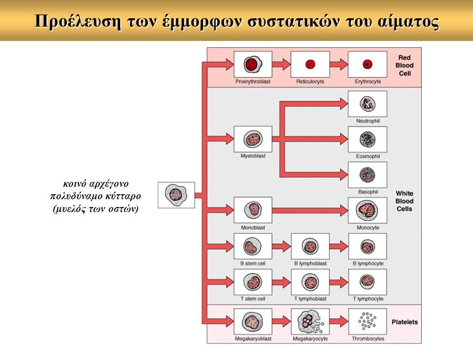Προέλευση των έμμορφων συστατικών του αίματος κοινό αρχέγονο πολυδύναμο κύτταρο (μυελός των οστών)