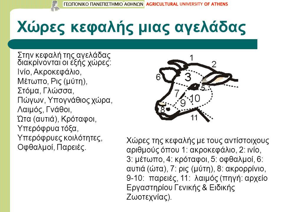 Χώρες κεφαλής μιας αγελάδας Στην κεφαλή της αγελάδας διακρίνονται οι εξής χώρες: Ινίο, Ακροκεφάλιο, Μέτωπο, Ρις (μύτη), Στόμα, Γλώσσα, Πώγων, Υπογνάθιος χώρα, Λαιμός, Γνάθοι, Ώτα (αυτιά), Κρόταφοι, Υπερόφρυα τόξα, Υπερόφρυες κοιλότητες, Οφθαλμοί, Παρειές.