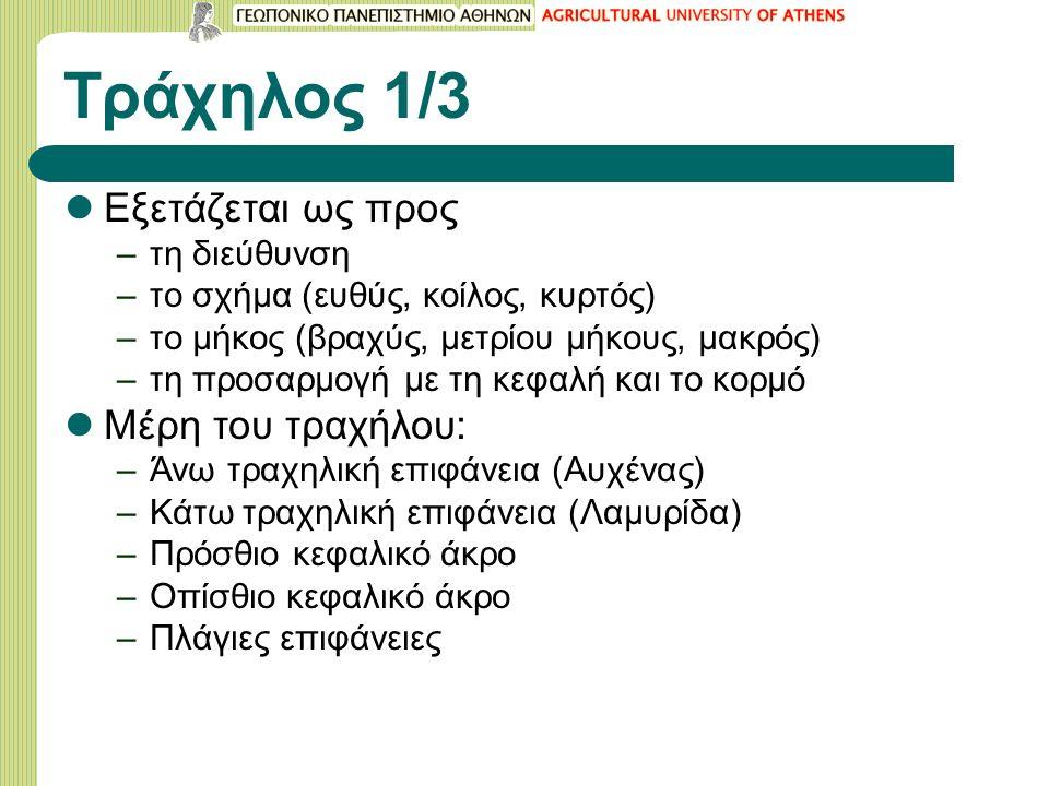 Τράχηλος 1/3 Εξετάζεται ως προς –τη διεύθυνση –το σχήμα (ευθύς, κοίλος, κυρτός) –το μήκος (βραχύς, μετρίου μήκους, μακρός) –τη προσαρμογή με τη κεφαλή και το κορμό Μέρη του τραχήλου: –Άνω τραχηλική επιφάνεια (Αυχένας) –Κάτω τραχηλική επιφάνεια (Λαμυρίδα) –Πρόσθιο κεφαλικό άκρο –Οπίσθιο κεφαλικό άκρο –Πλάγιες επιφάνειες