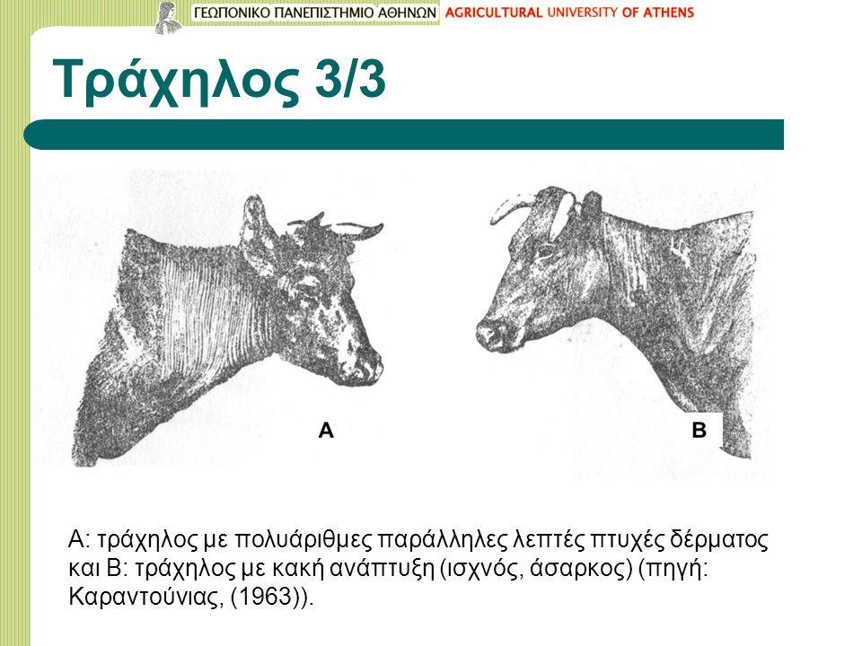 Τράχηλος 3/3 Α: τράχηλος με πολυάριθμες παράλληλες λεπτές πτυχές δέρματος και Β: τράχηλος με κακή ανάπτυξη (ισχνός, άσαρκος) (πηγή: Καραντούνιας, (1963)).