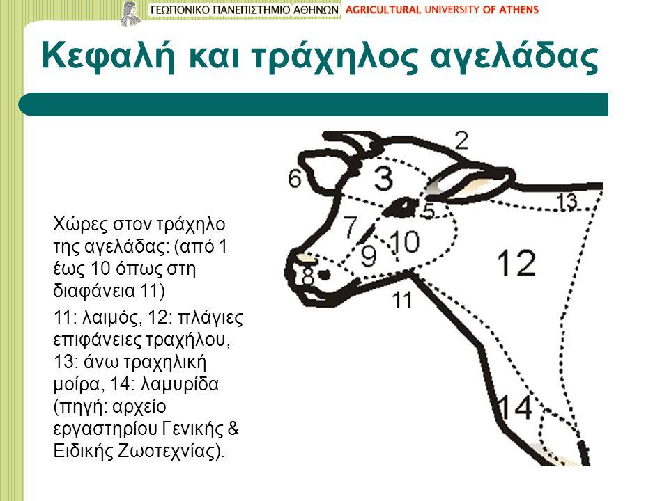 Κεφαλή και τράχηλος αγελάδας Χώρες στον τράχηλο της αγελάδας: (από 1 έως 10 όπως στη διαφάνεια 11) 11: λαιμός, 12: πλάγιες επιφάνειες τραχήλου, 13: άνω τραχηλική μοίρα, 14: λαμυρίδα (πηγή: αρχείο εργαστηρίου Γενικής & Ειδικής Ζωοτεχνίας).
