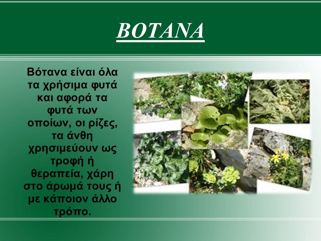 ΑΓΓΕΛΙΚΗ Η Αγγελικη είναι ένα ψηλό αρωματικό φυτό με μεγάλα λευκά άνθη που ευδοκιμεί σε ολόκληρο το Βόρειο Ημισφαίριο.