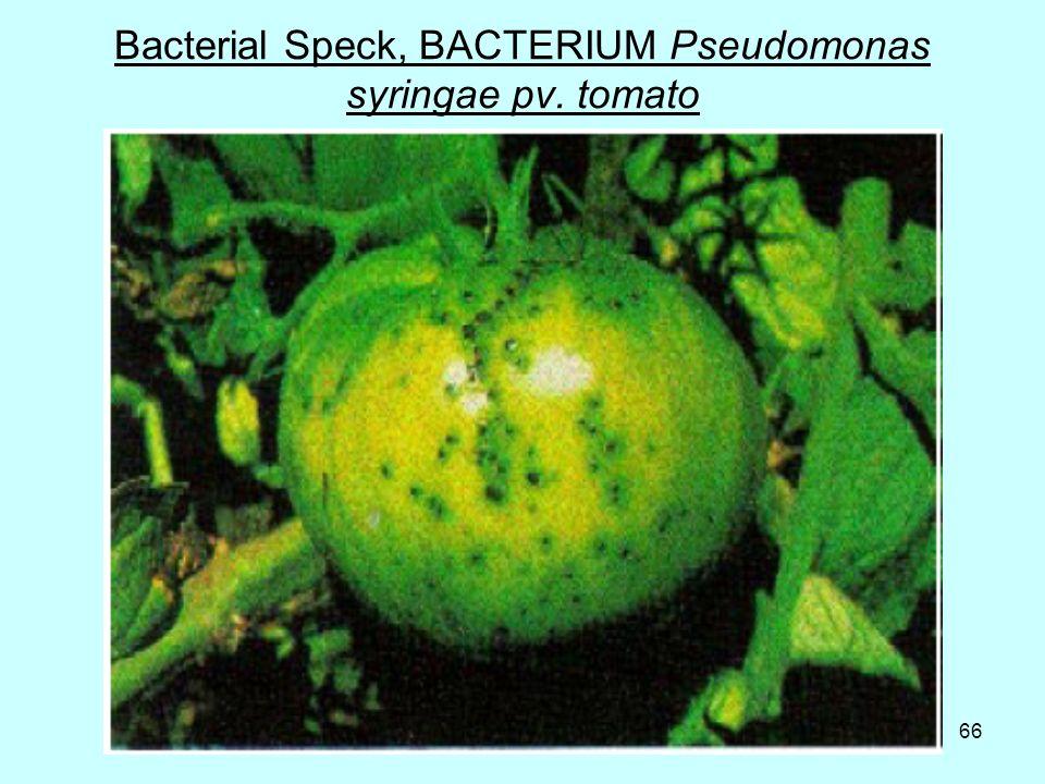 66 Bacterial Speck, BACTERIUM Pseudomonas syringae pv. tomato