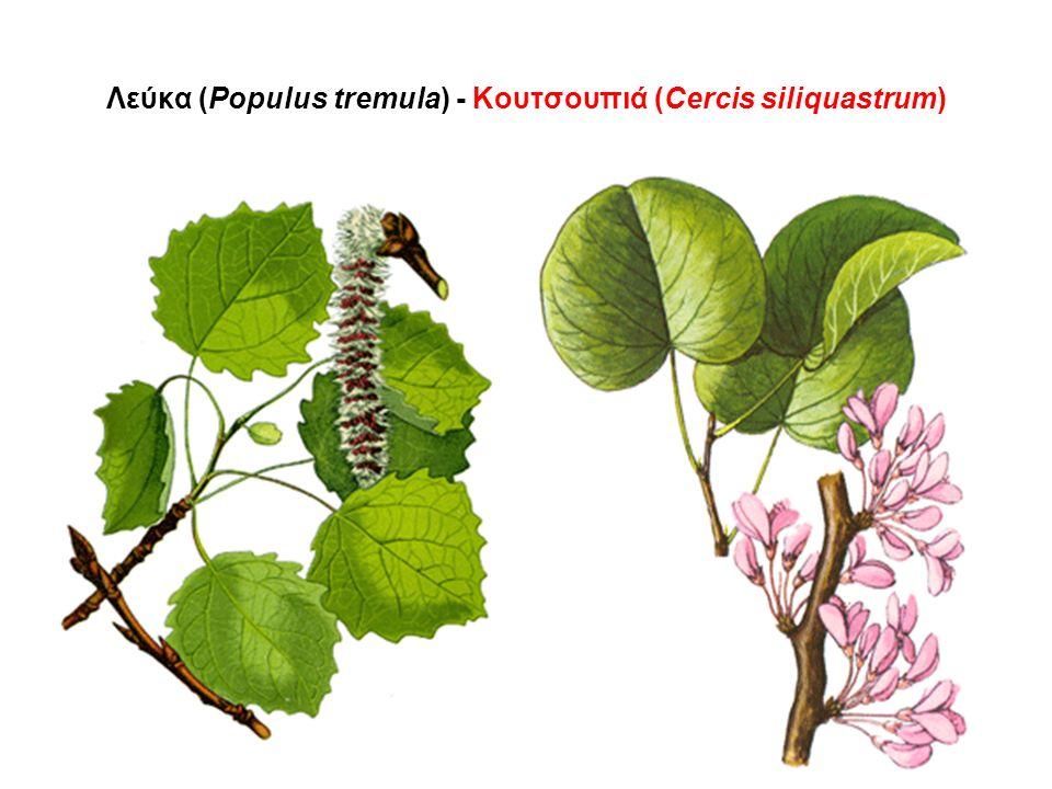 Λεύκα (Populus tremula) - Κουτσουπιά (Cercis siliquastrum)