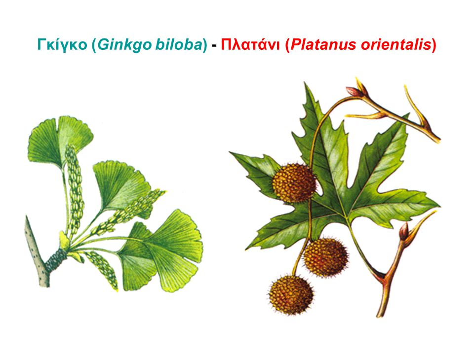 Γκίγκο (Ginkgo biloba) - Πλατάνι (Platanus orientalis)