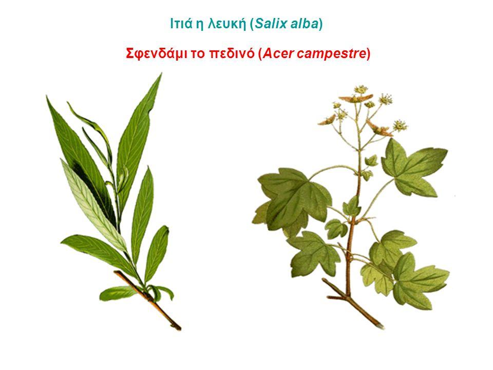 Ιτιά η λευκή (Salix alba) Σφενδάμι το πεδινό (Acer campestre)