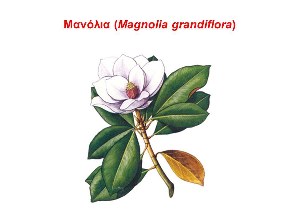 Μανόλια (Magnolia grandiflora)