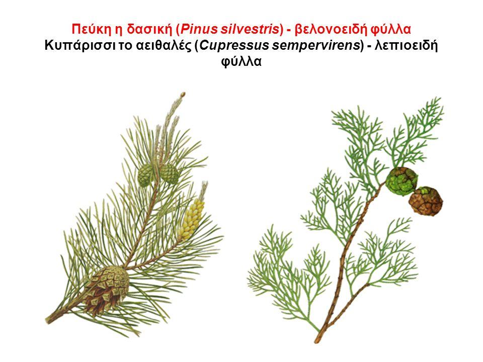 Πεύκη η δασική (Pinus silvestris) - βελονοειδή φύλλα Κυπάρισσι το αειθαλές (Cupressus sempervirens) - λεπιοειδή φύλλα