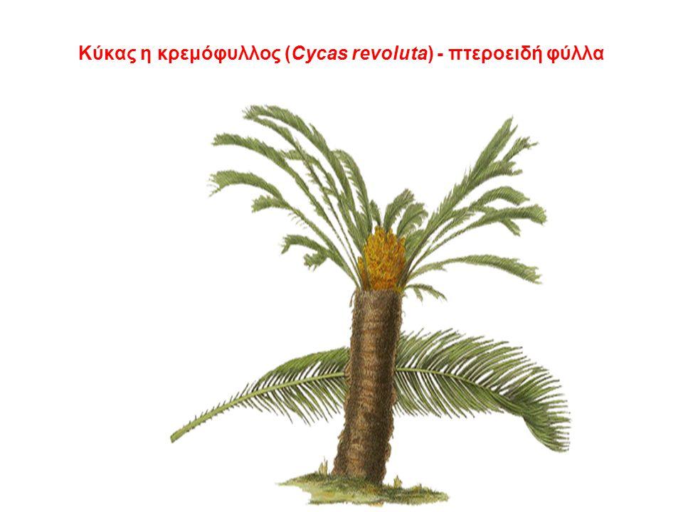 Κύκας η κρεμόφυλλος (Cycas revoluta) - πτεροειδή φύλλα