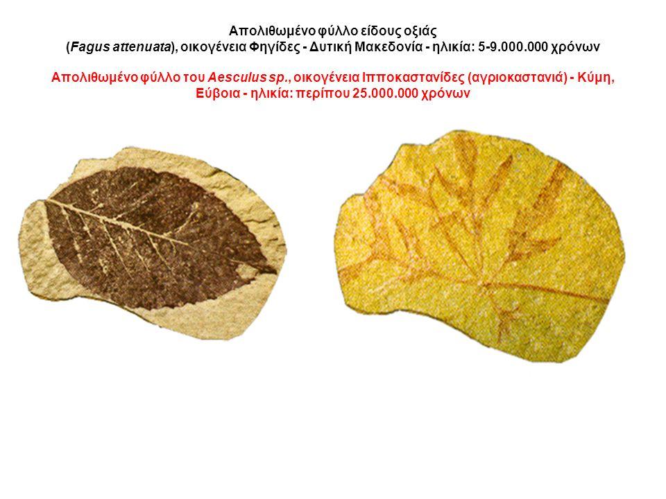 Απολιθωμένο φύλλο είδους οξιάς (Fagus attenuata), οικογένεια Φηγίδες - Δυτική Μακεδονία - ηλικία: 5-9.000.000 χρόνων Απολιθωμένο φύλλο του Aesculus sp., οικογένεια Ιπποκαστανίδες (αγριοκαστανιά) - Κύμη, Εύβοια - ηλικία: περίπου 25.000.000 χρόνων